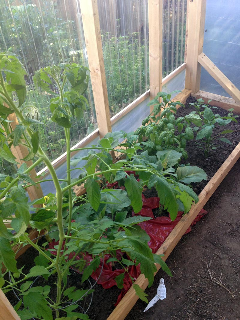 GREENHOUSE-CONSTRUCTION---INTERIOR-CONFIGURATION-WITH-TOMATOES,-EGGPLANTS-AND-PEPPERS-DOING-WELL